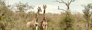 Awesome South Africa Collection Panoramic - Pair of Giraffes II by Philippe Hugonnard