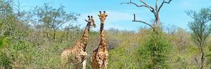 Awesome South Africa Collection Panoramic - Pair of Giraffes by Philippe Hugonnard