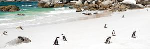 Awesome South Africa Collection Panoramic - Penguins at Boulders Beach by Philippe Hugonnard