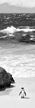 Awesome South Africa Collection Panoramic - Penguins on the Beach B&W by Philippe Hugonnard