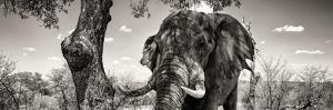 Awesome South Africa Collection Panoramic - Portrait of African Elephant in Savannah B&W by Philippe Hugonnard