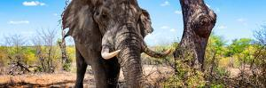 Awesome South Africa Collection Panoramic - Portrait of African Elephant in Savannah III by Philippe Hugonnard