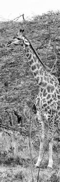 Awesome South Africa Collection Panoramic - Portrait of Giraffe B&W by Philippe Hugonnard