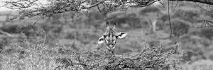 Awesome South Africa Collection Panoramic - Portrait of Giraffe Peering through Tree B&W by Philippe Hugonnard