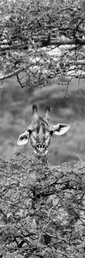 Awesome South Africa Collection Panoramic - Portrait of Giraffe Peering through Tree II B&W by Philippe Hugonnard