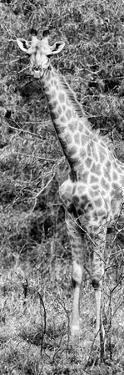 Awesome South Africa Collection Panoramic - Rothschild Giraffe B&W by Philippe Hugonnard