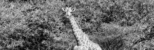 Awesome South Africa Collection Panoramic - Rothschild Giraffe II B&W by Philippe Hugonnard