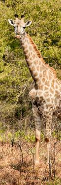 Awesome South Africa Collection Panoramic - Rothschild Giraffe by Philippe Hugonnard