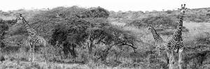 Awesome South Africa Collection Panoramic - Three Giraffes B&W by Philippe Hugonnard