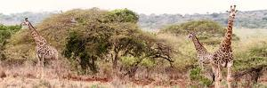 Awesome South Africa Collection Panoramic - Three Giraffes II by Philippe Hugonnard
