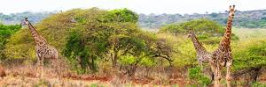 Awesome South Africa Collection Panoramic - Three Giraffes by Philippe Hugonnard