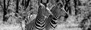 Awesome South Africa Collection Panoramic - Two Burchell's Zebra Portrait B&W by Philippe Hugonnard