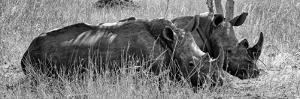 Awesome South Africa Collection Panoramic - Two White Rhinos III by Philippe Hugonnard