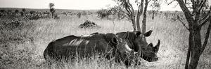 Awesome South Africa Collection Panoramic - Two White Rhinos by Philippe Hugonnard