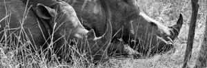 Awesome South Africa Collection Panoramic - White Rhinos Sleeping B&W by Philippe Hugonnard