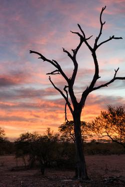 Awesome South Africa Collection - Savanna Tree at Sunrise by Philippe Hugonnard