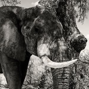 Awesome South Africa Collection Square - African Elephant II by Philippe Hugonnard
