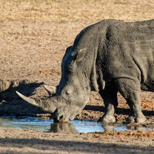 Awesome South Africa Collection Square - Black Rhino drinking from pool of water at Sunset by Philippe Hugonnard