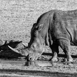 Awesome South Africa Collection Square - Black Rhino drinking from pool of water by Philippe Hugonnard