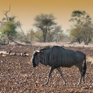 Awesome South Africa Collection Square - Blue Wildebeest walking at Sunset by Philippe Hugonnard