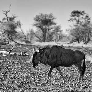 Awesome South Africa Collection Square - Blue Wildebeest walking by Philippe Hugonnard