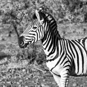 Awesome South Africa Collection Square - Burchell's Zebra Portrait B&W by Philippe Hugonnard