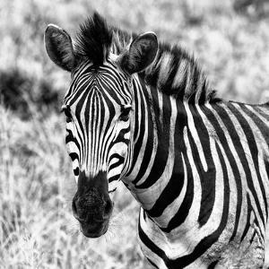 Awesome South Africa Collection Square - Burchell's Zebra Portrait II B&W by Philippe Hugonnard