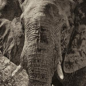 Awesome South Africa Collection Square - Close-Up of African Elephant II by Philippe Hugonnard