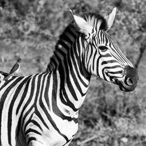 Awesome South Africa Collection Square - Close-Up of Burchell's Zebra with Oxpecker B&W by Philippe Hugonnard