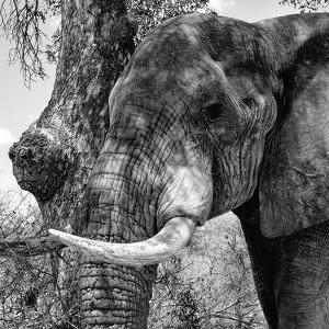 Awesome South Africa Collection Square - Close-Up of Elephant B&W by Philippe Hugonnard