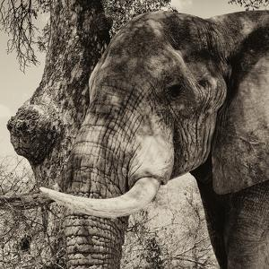 Awesome South Africa Collection Square - Close-Up of Elephant Sepia by Philippe Hugonnard