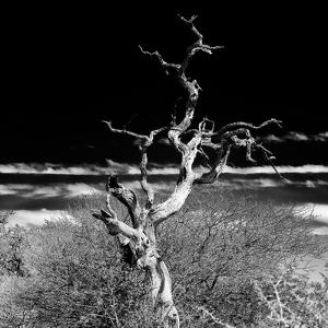 Awesome South Africa Collection Square - Dead Acacia Tree II B&W by Philippe Hugonnard