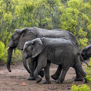 Awesome South Africa Collection Square - Elephant Family by Philippe Hugonnard