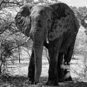 Awesome South Africa Collection Square - Elephant Portrait B&W by Philippe Hugonnard