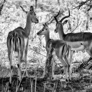 Awesome South Africa Collection Square - Impala Family B&W by Philippe Hugonnard