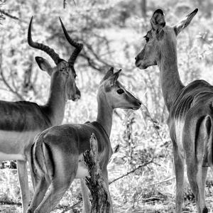 Awesome South Africa Collection Square - Impala Family II B&W by Philippe Hugonnard