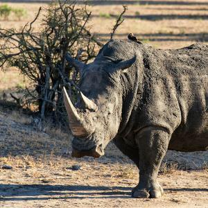 Awesome South Africa Collection Square - Portrait of a Rhinoceros at Sunset by Philippe Hugonnard
