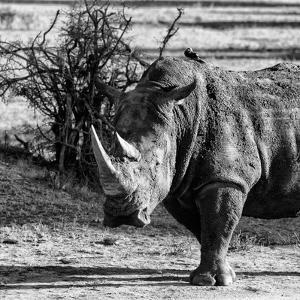 Awesome South Africa Collection Square - Portrait of a Rhinoceros by Philippe Hugonnard