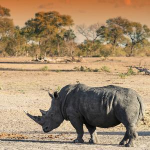 Awesome South Africa Collection Square - Rhinoceros in Savanna at Sunset by Philippe Hugonnard