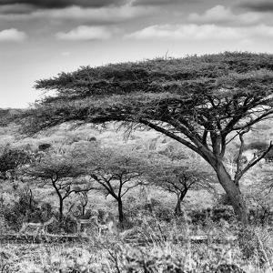 Awesome South Africa Collection Square - Umbrella Acacia Tree B&W by Philippe Hugonnard
