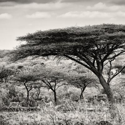 Awesome South Africa Collection Square - Umbrella Acacia Tree by Philippe Hugonnard