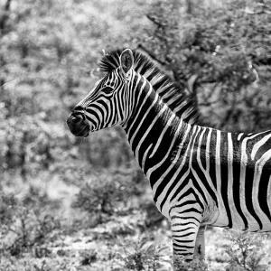 Awesome South Africa Collection Square - Zebra Portrait B&W by Philippe Hugonnard