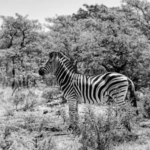 Awesome South Africa Collection Square - Zebra Profile B&W by Philippe Hugonnard