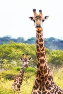 Awesome South Africa Collection - Two Giraffes XII by Philippe Hugonnard