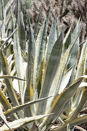 Cacti Cactus Collection - Agavaceae
