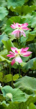 China 10MKm2 Collection - Lotus Flowers Garden by Philippe Hugonnard