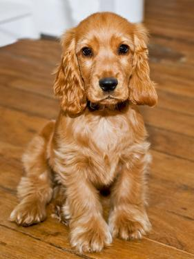 Dog Breeds - Cocker Spaniel - Puppies - English Cocker by Philippe Hugonnard