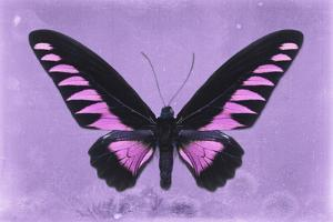 Miss Butterfly Brookiana - Mauve by Philippe Hugonnard