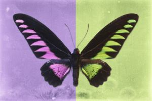Miss Butterfly Brookiana Profil - Mauve & Lime Green by Philippe Hugonnard