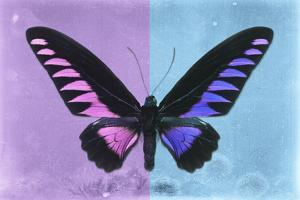 Miss Butterfly Brookiana Profil - Mauve & Skyblue by Philippe Hugonnard